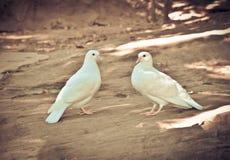 2 άσπρο περιστέρι Στοκ Εικόνα