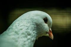 Άσπρο περιστέρι Στοκ εικόνες με δικαίωμα ελεύθερης χρήσης