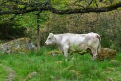 Άσπρο περπάτημα αγελάδων ελεύθερο σε ένα δάσος στη Σουηδία στοκ εικόνες