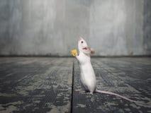 Άσπρο ποντίκι με ένα κομμάτι του τυριού Στοκ φωτογραφία με δικαίωμα ελεύθερης χρήσης
