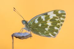 Άσπρο πορτοκαλί υπόβαθρο λουτρών πεταλούδων στοκ φωτογραφία με δικαίωμα ελεύθερης χρήσης