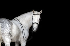 Άσπρο πορτρέτο αλόγων Στοκ Εικόνες