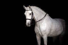Άσπρο πορτρέτο αλόγων Στοκ εικόνα με δικαίωμα ελεύθερης χρήσης
