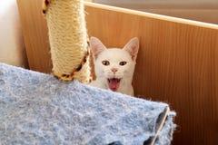 Άσπρο πορτρέτο γατών που βρίσκεται και που χαλαρώνει στο σπίτι Κλείστε επάνω της άσπρης γάτας γατακιών στο εσωτερικό Στοκ Φωτογραφίες