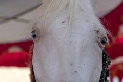 Άσπρο πορτρέτο κεφαλιών αλόγων στην έκθεση Pushkar στο Rajasthan, Ινδία o στοκ φωτογραφίες