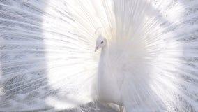 Άσπρο πορτρέτο Peacock απόθεμα βίντεο