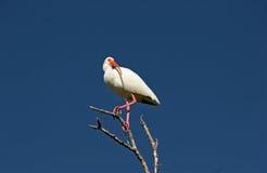 Άσπρο πουλί θρεσκιορνιθών στον κλάδο Στοκ Φωτογραφία