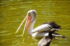 Άσπρο πουλί πελεκάνων στο πάρκο, Αδελαΐδα Αυστραλία στοκ φωτογραφία με δικαίωμα ελεύθερης χρήσης