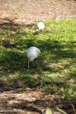 Άσπρο πουλί θρεσκιορνιθών στο έδαφος Στοκ φωτογραφία με δικαίωμα ελεύθερης χρήσης