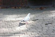 Άσπρο πουλί περιστεριών περιστεριών στην υπαίθρια φωτογραφία υποβάθρου κεραμιδιών Στοκ Εικόνα