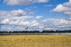 Άσπρο πουλί πελαργών κατά την πτήση Στοκ φωτογραφίες με δικαίωμα ελεύθερης χρήσης
