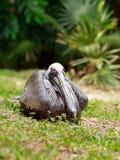Άσπρο πουλί πελεκάνων Στοκ Φωτογραφίες