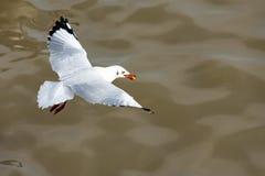 Άσπρο πουλί που πετά πέρα από τη θάλασσα με τα τρόφιμα στο κόκκινο ράμφος στοκ εικόνα