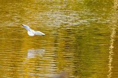 Άσπρο πουλί που πετά πέρα από χρωματισμένη τη φθινόπωρο λίμνη Στοκ εικόνες με δικαίωμα ελεύθερης χρήσης