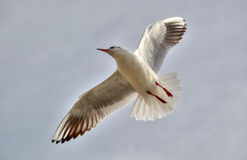 Άσπρο πουλί που πετά στον ουρανό Στοκ φωτογραφία με δικαίωμα ελεύθερης χρήσης