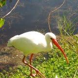 Άσπρο πουλί Στοκ Φωτογραφία
