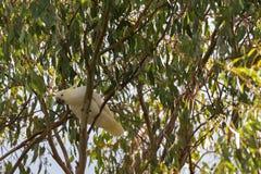 Άσπρο πουλί cockatoo θείου λοφιοφόρο με τον κίτρινο λόφο, μαύρο bil στοκ εικόνες