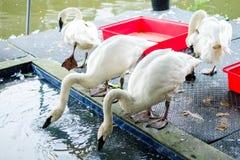 Άσπρο πόσιμο νερό gooses στο πάτωμα και το κοντινό νερό λιμνών Στοκ Εικόνες