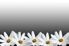 Άσπρο πλαίσιο λουλουδιών κόσμου Στοκ Φωτογραφίες