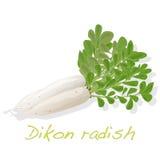 Άσπρο ραδίκι Dikon Στοκ Φωτογραφίες