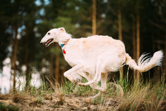 Άσπρο ρωσικό Borzoi sighthound, gazehound τρέξιμο κυνηγιού στο Au Στοκ Εικόνες