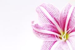 Άσπρο ρόδινο έμβλημα φωτογραφιών λουλουδιών κρίνων Ευγενές θηλυκό πρότυπο εμβλημάτων Άσπρη ταπετσαρία κρίνων Στοκ Εικόνες