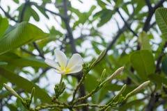 Άσπρο, ρόδινο και κίτρινο Plumeria, λουλούδια frangipani, παγόδα tre Στοκ εικόνα με δικαίωμα ελεύθερης χρήσης