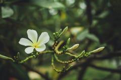Άσπρο, ρόδινο και κίτρινο Plumeria, λουλούδια frangipani, παγόδα tre Στοκ φωτογραφίες με δικαίωμα ελεύθερης χρήσης