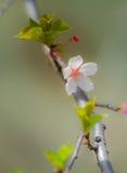 Άσπρο/ρόδινο άνθος 2 κερασιών Στοκ Εικόνες