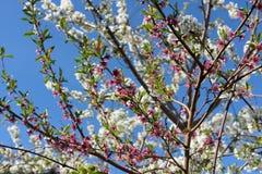 Άσπρο ρόδινο δέντρο κερασιών Στοκ Εικόνες