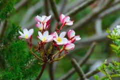 Άσπρο, ρόδινο και κίτρινο Plumeria, λουλούδια frangipani, παγόδα tre Στοκ Εικόνες