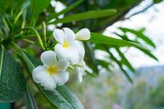 Άσπρο, ρόδινο και κίτρινο Plumeria, λουλούδια frangipani, παγόδα tre Στοκ εικόνες με δικαίωμα ελεύθερης χρήσης