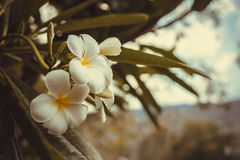 Άσπρο, ρόδινο και κίτρινο Plumeria, λουλούδια frangipani, παγόδα tre Στοκ Φωτογραφία