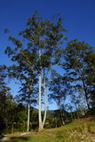 Άσπρο δρύινο δέντρο Στοκ φωτογραφίες με δικαίωμα ελεύθερης χρήσης