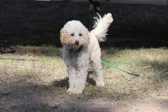 Άσπρο σγουρό μαλλιαρό σκυλί Στοκ Εικόνες