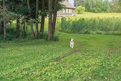 Άσπρο σκυλί που τρέχει σε μας Στοκ εικόνα με δικαίωμα ελεύθερης χρήσης