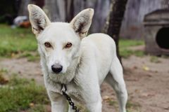 Άσπρο σκυλί που φρουρεί τη σιταποθήκη στοκ φωτογραφίες με δικαίωμα ελεύθερης χρήσης