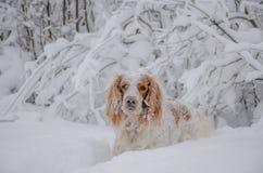 Άσπρο σκυλί στη φύση στο ημίτονο τα ξύλα Στοκ εικόνες με δικαίωμα ελεύθερης χρήσης