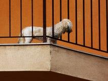 Άσπρο σκυλί στο μπαλκόνι, που παρατηρεί την περιοχή κατωτέρω στοκ φωτογραφία με δικαίωμα ελεύθερης χρήσης