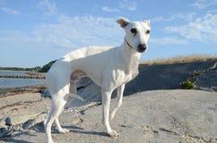 Άσπρο σκυλί Whippet Στοκ φωτογραφία με δικαίωμα ελεύθερης χρήσης