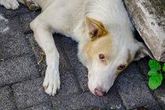 Άσπρο σκυλί που βρίσκεται στο δρόμο πετρών Στοκ φωτογραφία με δικαίωμα ελεύθερης χρήσης