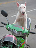 Άσπρο σκυλί σε ένα ποδήλατο Στοκ Εικόνες