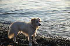 Άσπρο σκυλί σε Kamari Santorini στοκ φωτογραφία