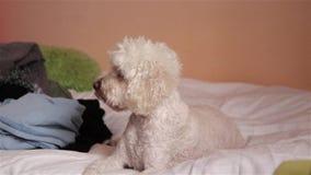 Άσπρο σκυλί στο κρεβάτι φιλμ μικρού μήκους