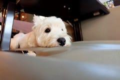 Άσπρο σκυλί τεριέ δυτικών ορεινών περιοχών Στοκ εικόνες με δικαίωμα ελεύθερης χρήσης