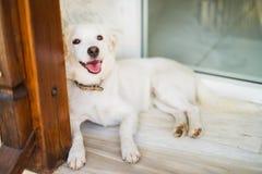 Άσπρο σκυλί της Νίκαιας Στοκ Φωτογραφία