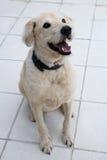 Άσπρο σκυλί του Λαμπραντόρ Στοκ εικόνα με δικαίωμα ελεύθερης χρήσης