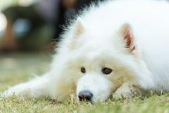 Άσπρο σκυλί Στοκ εικόνες με δικαίωμα ελεύθερης χρήσης
