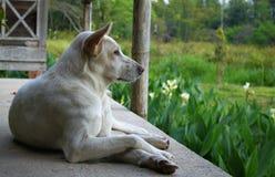 Άσπρο σκυλί Στοκ Φωτογραφία