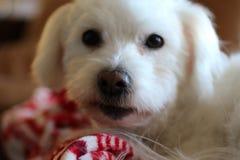 Άσπρο σκυλί Στοκ Φωτογραφίες